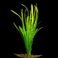 Аквариумные растения укореняющиеся в грунте