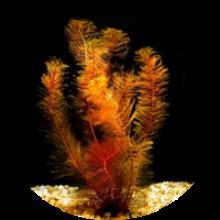 Аквариумные растения плавающие в толще воды
