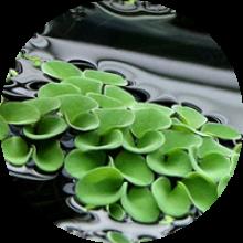 Растения плавающие на поверхности воды