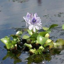 Водный гиацинт куст