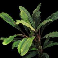 Буцефаландра зеленая волнистая горшок